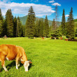 Grazing cow - Foto de Stock
