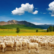 Herd of sheep — Stock Photo #1593340