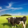 Grazing cow — Stock Photo #1593386