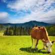 Stock Photo: Grazing cow