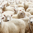 Herd of sheep - Foto Stock