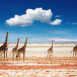 Royalty-Free Stock Photo: Herd of giraffes