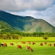 Royalty-Free Stock Photo: Grazing cows