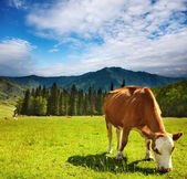 Grazing cow — Foto Stock