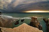 Gannet colony, New Zealand — Stock Photo