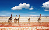 Herd of giraffes — Foto de Stock