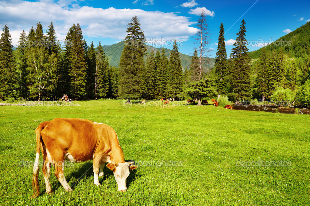 Rural landscape with grazing cow and blue sky — Stock Photo #1593105