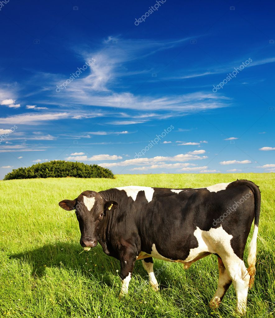 Rural landscape with grazing cow and blue sky — Stock Photo #1593386