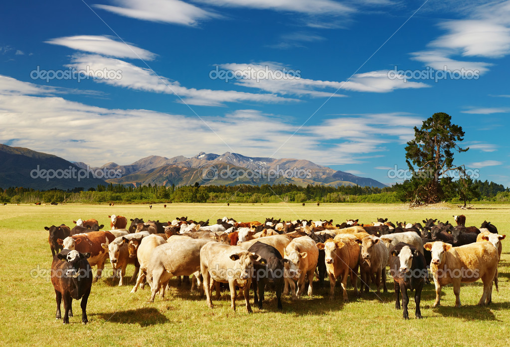 Mountain landscape with grazing cows, New Zealand  Stock Photo #1593789