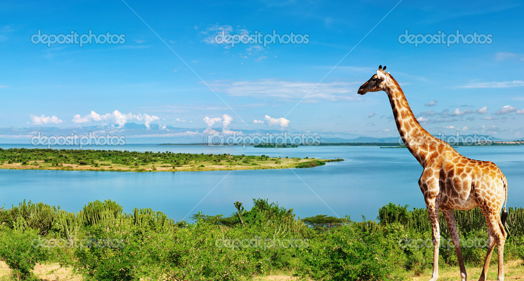 African landscape with Nile River and giraffe  Stock Photo #1594037