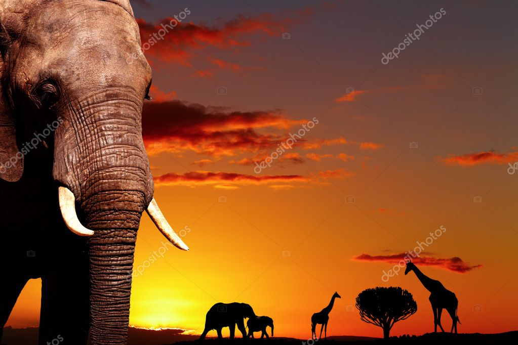 African elephant in savanna at sunset  Foto de Stock   #1594295