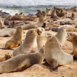 Stock Photo: Colony of seals
