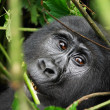 Wild gorilla - Stock Photo