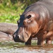 Wild hippo - Stock Photo