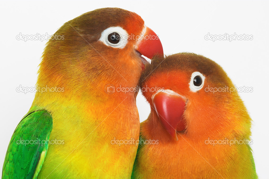 Pair of lovebirds agapornis-fischeri — Stock Photo #1606675