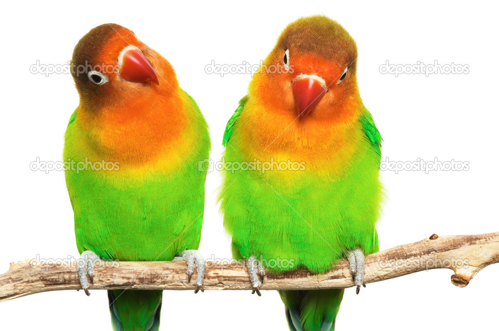 Pair of lovebirds agapornis-fischeri isolated on white — Stock Photo #1607104