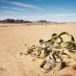 Stock Photo: WelwitschiMirabilis in Namib Desert