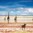 Herd of giraffes — Stock Photo #1612400