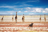 Herd of giraffes — Stockfoto