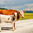Cow and calf — Stock Photo #1620479
