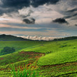 Tea plantation in Uganda — Stock Photo