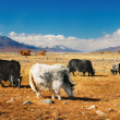 Stock Photo: Grazing yaks