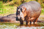 Hippo sauvage — Photo
