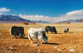 Grazing yaks — Stock Photo