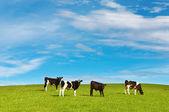 Grazing calves — Stock Photo