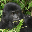 Eastern mountain gorilla — Stock Photo #1635629