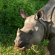 Stock Photo: Asiatic rhinoceros