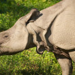 Asiatic rhinoceros - Photo