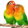 Pair of lovebirds — Stock Photo #1635881