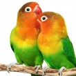 Pair of lovebirds — Stock Photo #1635881