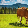 Grazing cow — Stock Photo #1636356