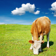 Grazing cow — Stock Photo #1636741