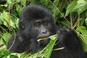 Eastern mountain gorilla — Stock Photo