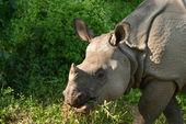 Asiatic rhinoceros — Stock Photo