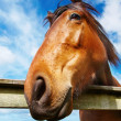 Stock Photo: horse head closeup