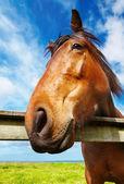 Horse head closeup — Stock Photo