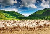Manada de ovejas — Foto de Stock