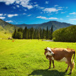 Grazing cow — Stock Photo #1703733