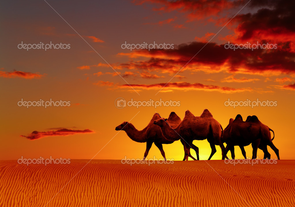 Desert landscape with walking camels at sunset — Stock Photo #1703220