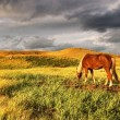 Stock Photo: Grazing horse