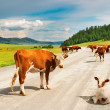Royalty-Free Stock Photo: Herd of cows
