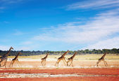 Running giraffes — Stock Photo