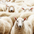 Herd of sheep - Stock Photo