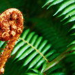 Unravelling fern frond closeup - Stock Photo