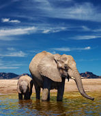 Elephants at watering — Foto de Stock