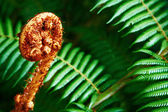 Unravelling fern frond closeup — Stock Photo